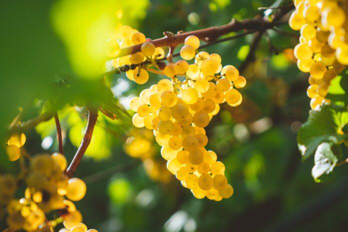 Τα 7 μυστικά για το γλυκό του κουταλιού σταφύλι όπως της γιαγιάς